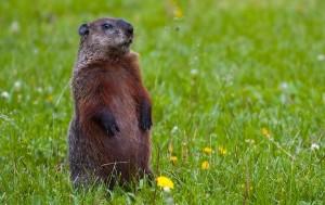 punxsutawney_phil_groundhog